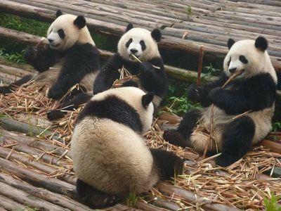 La protección de los osos panda no ayuda a todas las especies de su hábitat