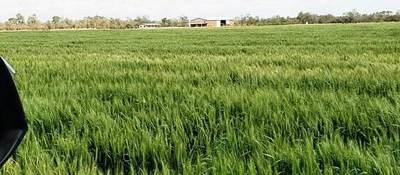 Trigo con riego ya echa espigas en el Chaco Central
