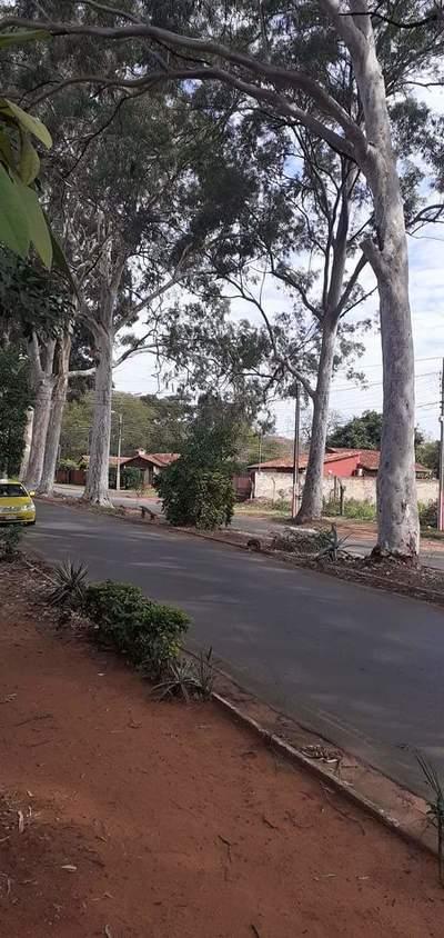 Denuncian posible tala de 28 eucaliptos centenarios en San Lorenzo