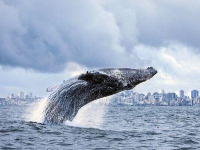 El silencio de la pandemia atrae a las ballenas hacia el litoral brasileño