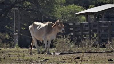 La sequía continúa causando estragos en la producción ganadera del Chaco