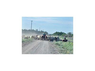 Alto Paraguay reporta un importante crecimiento en la producción ganadera