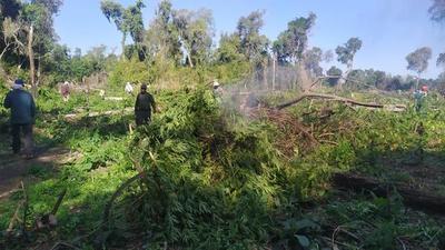 Destruyen 15 toneladas de marihuana en el distrito de Carayaó – Prensa 5