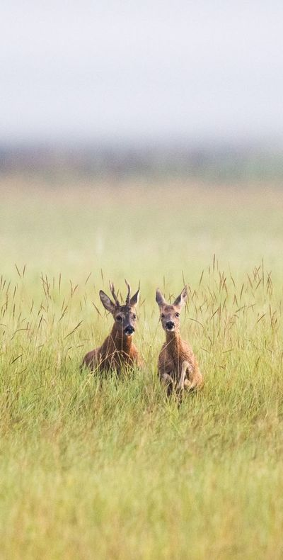 Protectores de animales advierten de ciervos enamorados en las calles