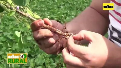 Abc Rural:  Uso de abonos verdes antes de siembra de soja