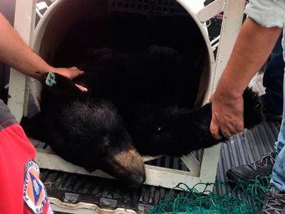 Autoridades ambientales investigan captura y castración de oso negro