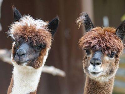 En Baviera usan alpacas en tratamientos a delincuentes con problemas mentales