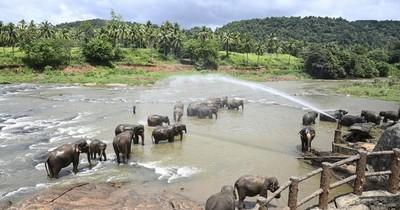 En Sri Lanka, el confinamiento ofrece un respiro a elefantes amenazados