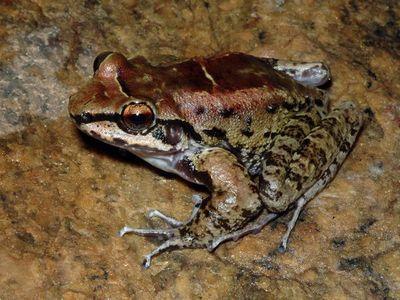 Una especie de rana brasileña vive en un harén de tres y todos son fieles