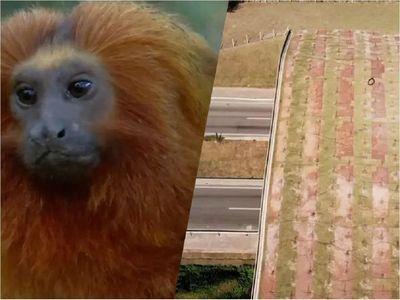 Brasil levanta puente para preservar futuro de su mono más emblemático