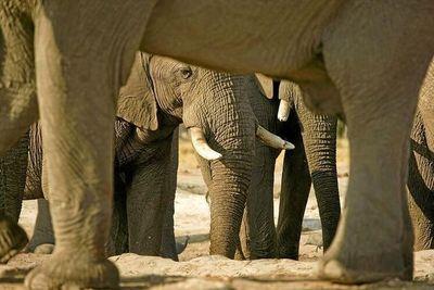 Pandemia provoca un 'baby boom' de elefantes en Kenia: 140 nuevas crías desde que llegó el Covid