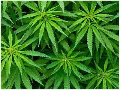 Senad analiza posible exportación de marihuana para uso recreativo