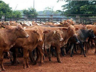 Minerva y Concepción concentran el 62% de la compra de ganado
