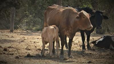 Pequeños productores del Chaco buscan acceder a créditos ante aquejante sequía