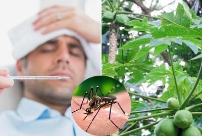 Hojas de mamón: receta para enfermo de dengue.