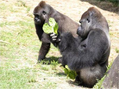 Organizan registro de regalos para baby shower de una gorila preñada