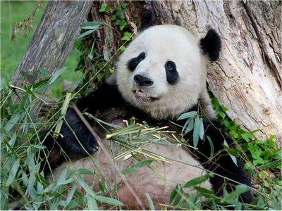 Nace un panda en el zoo de Washington
