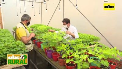Abc Rural: Colección de roya de la soja para investigación