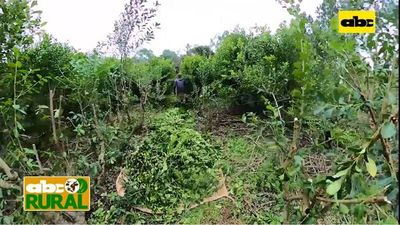 Abc Rural: Manejos culturales de yerba mate con siembra directa