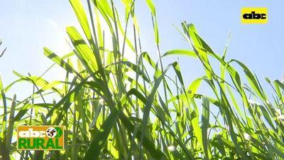 Abc Rural: Implementación de abonos verdes en suelos mal drenados
