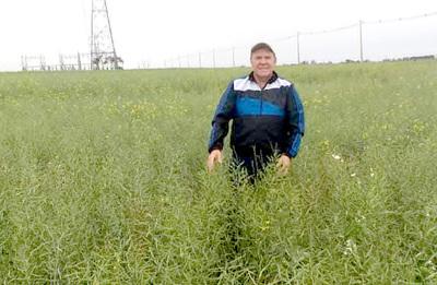 Heladas afectan una pequeña parte del cultivo de trigo en el Alto Paraná