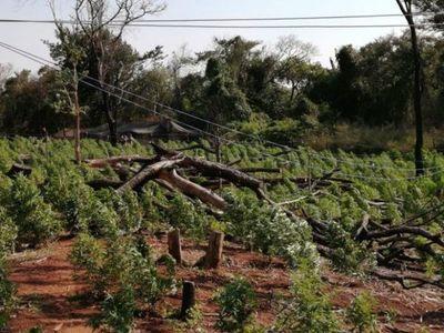 Destruyen 60 hectáreas de marihuana Creespy y detienen a seis personas en Capitán Bado