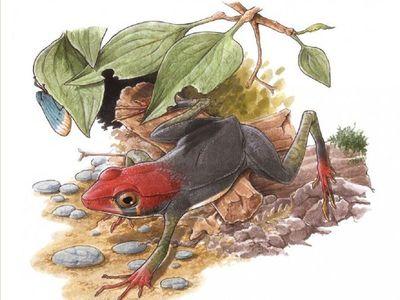 Hallan en Brasil nueva especie de rana de 119 millones de años