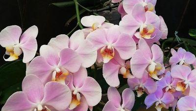 """El cultivo de orquídeas busca florecer: """"Demanda es alta, falta más inversión para aumentar la producción"""""""