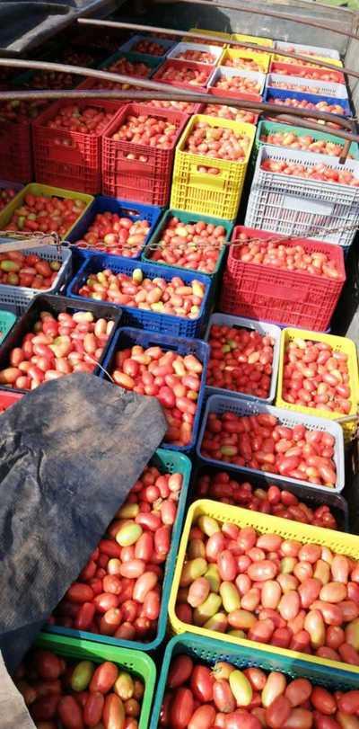 Productor de tomate asegura que pueden cubrir la demanda local