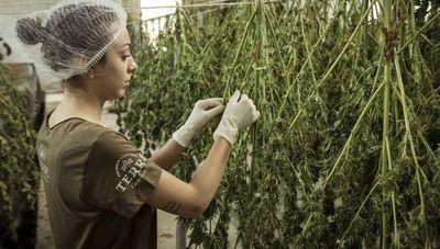 """""""Hay que dar los siguientes pasos, para no quedar atrás cuando los otros países empiecen a exportar productos a base de cannabis"""""""