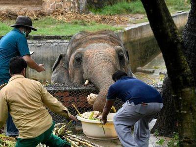 Obeso y maltratado, el único elefante de Pakistán por fin saldrá libre