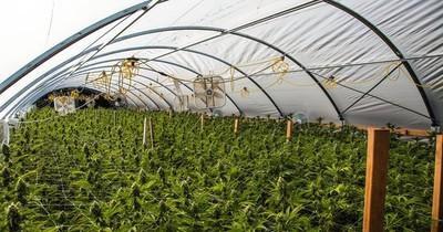 La Nación / En Paraguay no se cuenta con la semilla del cannabis medicinal, solo recreativo, sostiene Giuzzio