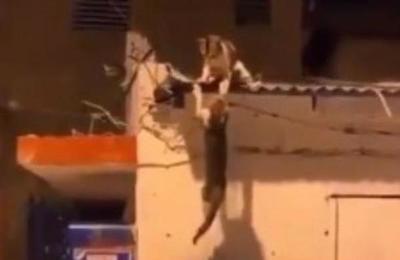 Dos gatos pelean en un techo y recrean la trágica escena de Scar y Mufasa en 'El rey león'