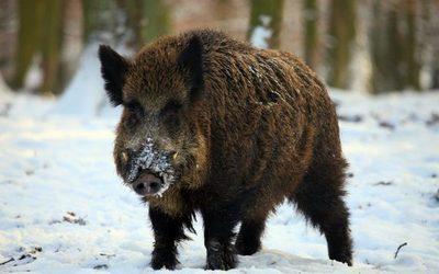 Se confirma en Alemania el primer caso de peste porcina en jabalí muerto