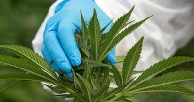 La Nación / Ejecutivo veta proyecto de ley que despenaliza el cultivo de marihuana para uso medicinal