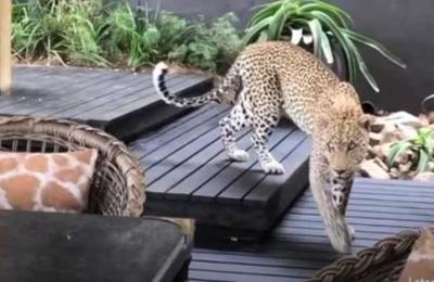 Captan a un leopardo entre los clientes de un restaurante en Sudáfrica