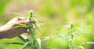 La Nación / Mamá Cultiva Paraguay rechaza el veto de Abdo Benítez al uso medicinal de la marihuana