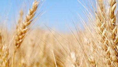 Fuerte reducción de las exportaciones de trigo (estrictos controles en la frontera retrasan envíos)