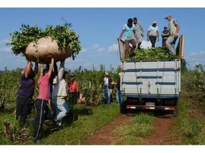 Yerbateros del Nordeste de Itapúa  exigen un precio justo