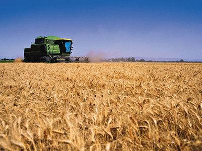 Agricultores reportan que los rindes del trigo bajaron un 25%