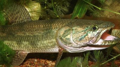 Tare'yi el pez guerrero y sabroso de aguas dulces