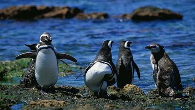 Hallan a un pingüino muerto tras ingerir una mascarilla en Brasil