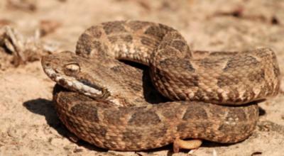 HOY / El 2020 registra 96 víctimas de picaduras de serpientes en el país