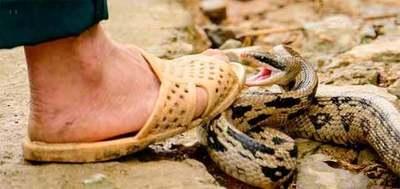 Se reportaron 96 accidentes ofídicos (mordedura de serpientes) este año