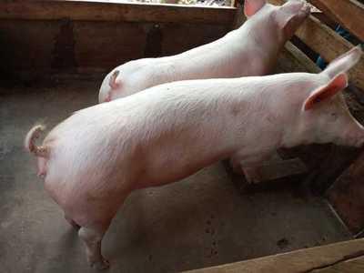 Productores de cerdo reclaman a Taiwán que abra su mercado a producción nacional