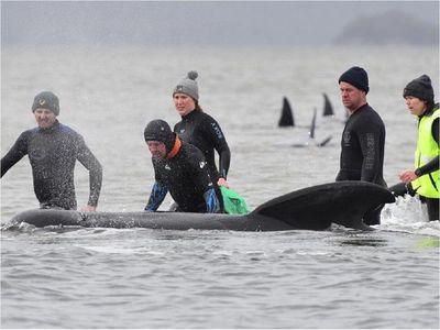Mueren un tercio de las 270 ballenas varadas en Australia