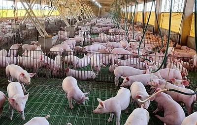 Precios de la carne de cerdo están por el suelo y claman al gobierno abrir el mercado de Taiwán