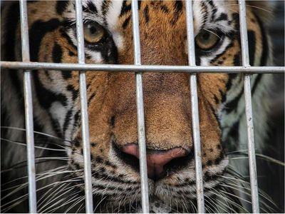 Animales salvajes dejan de temer a sus depredadores tras vivir cautivos