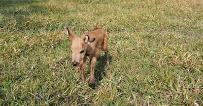 La Nación / Ejemplar de ciervo de los pantanos nació en cautiverio en refugio Atinguy