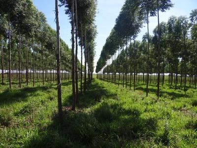 PARAGUAY EXPORTARÁ MADERA DE PLANTACIONES FORESTALES PROVENIENTES DE ESPECIES EXÓTICAS